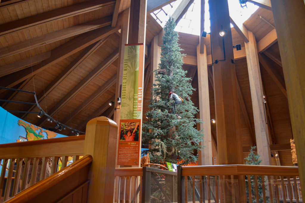 Pine tree located inside of the Discovery Museum at World Forestry Center