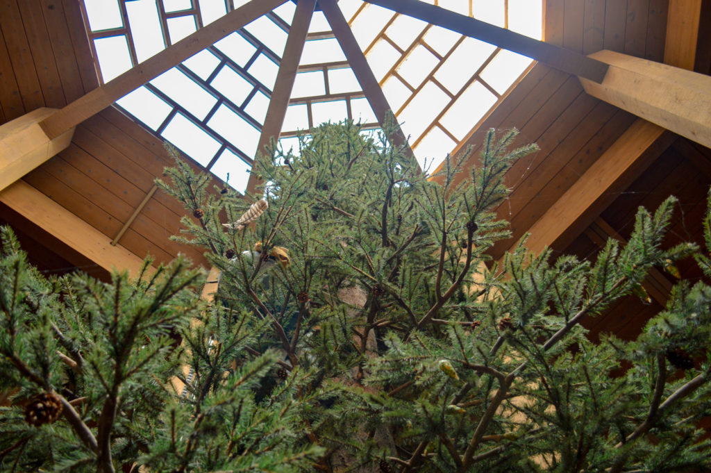 Inside World Forestry Center, looking from the base up of a tall pine tree.