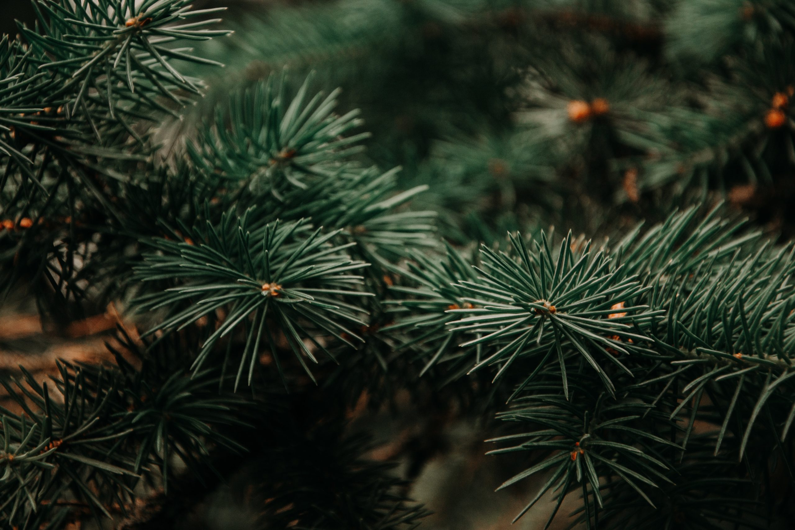 Close up of pine branches and needles