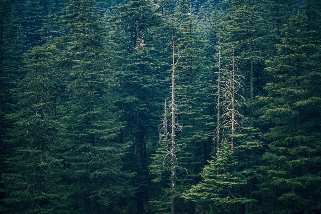 Panoramic image of tall green pine trees in a forest