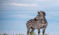 Photo of a Zebra at Nyika National park.